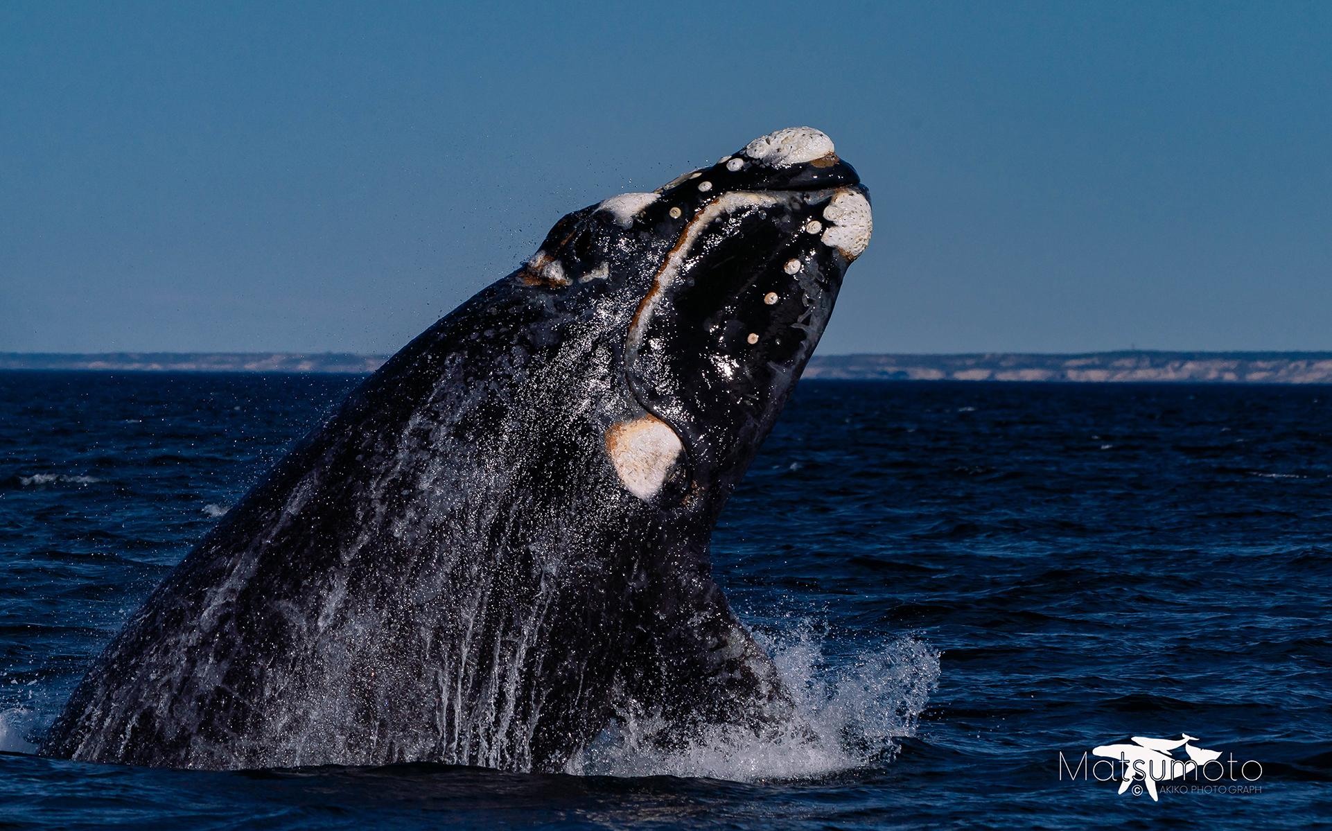 ミナミセミクジラ ブリーチ